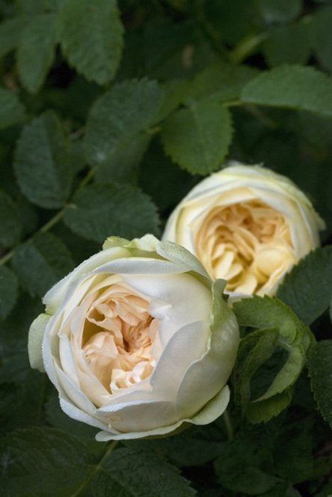 Роза морщинистая-Rugosa Rosa Agnes