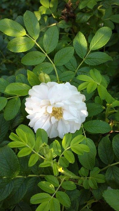 Роза морщинистая-Rugosa Rosa Blanc Double de Coubert