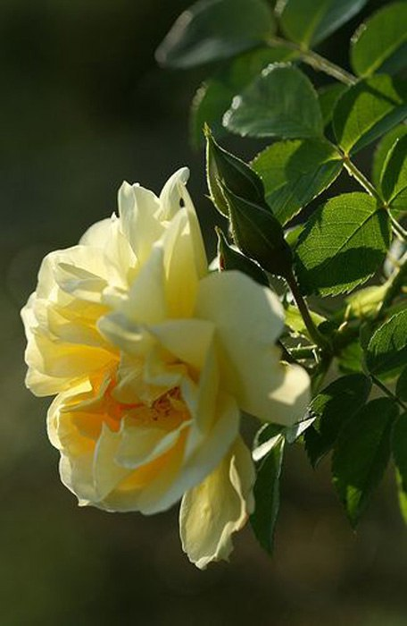 Роза морщинистая-Rugosa Rose Topaz Jewe