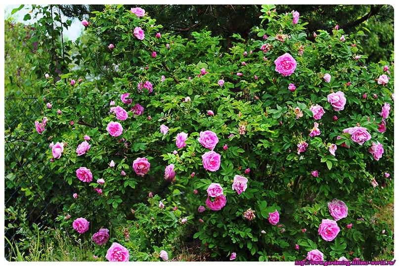 Роза морщинистая-Rosa rugosa моего сада