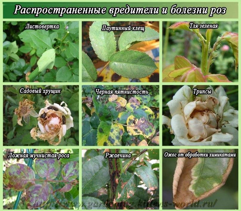 как ухаживать за розами-Распространенные вредители и болезни роз