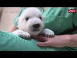 Как растет белый медвежонок. Зоопарк Колумбус, штат Огайо, США
