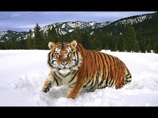 Амба Русский Тигр.Animal Planet.HD