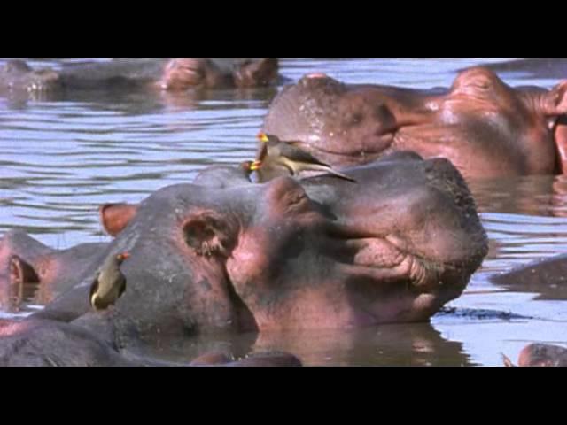 BBC Ребятам о зверятах Бегемоты 1 сезон 1 серия