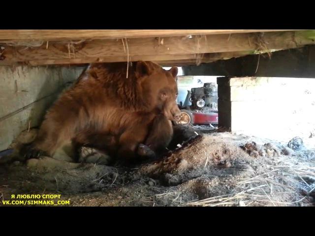 Непрошенный гордый гость уходит красиво Медведь на даче