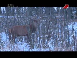 Охота на оленя благородного На охотничьей тропе