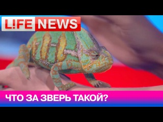 Хамелеон Фил в студии LifeNews