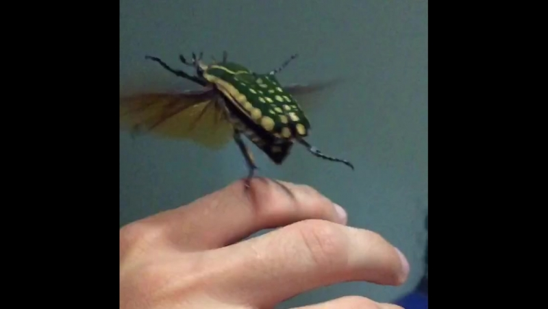 Mecynorrhina polyphemus flying