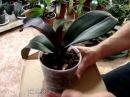 Болезни орхидей - 2. Орхидеи - Фалинопсис, Ванда, Мильтония, Дендробиум, Камбрия, Ц ...