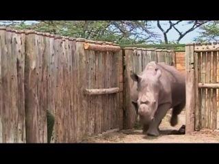 В Кении умер один из последних северных белых носорогов (новости) http://9kommentariev.ru/