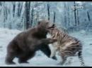 Звериные баталии Сибирский тигр против бурого медведя