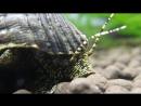 Golden Spotted Tylomelania Snail