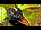 Цветок-хищник плотоядного растения Венерина мухоловка