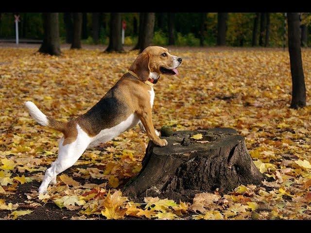 Бигль, все породы собак, 101 dogs. Введение в собаковедение.