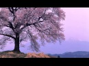 80 Minutes Traditional Japanese Music Old Songs on Biwa 琵琶