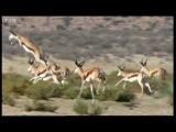 Cheetah family vs Springbok - Wild Africa - BBC