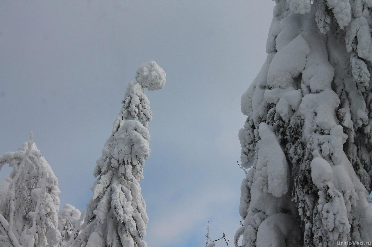 Кухта на деревьях