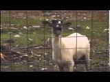 Эффект для монтажа - Крик козла