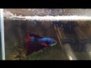 мальки нашего петушка Халфмуна начинают активно двигаться))FISH IN BOX
