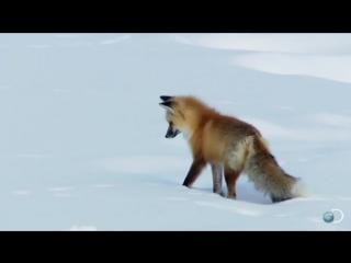 как лиса упоролась и ловила мышей