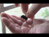 GIANT Bumble Bee Rescue &amp Release - Picked Up By Hand &amp High Five