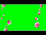 Розы падают (на хромакее)