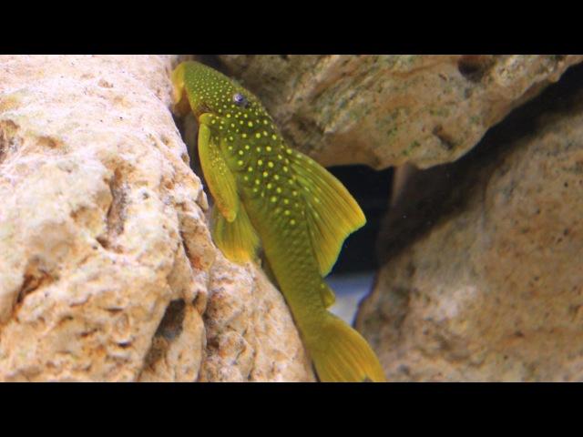 Green Phantom Pleco L200 - Baryancistrus demantoides