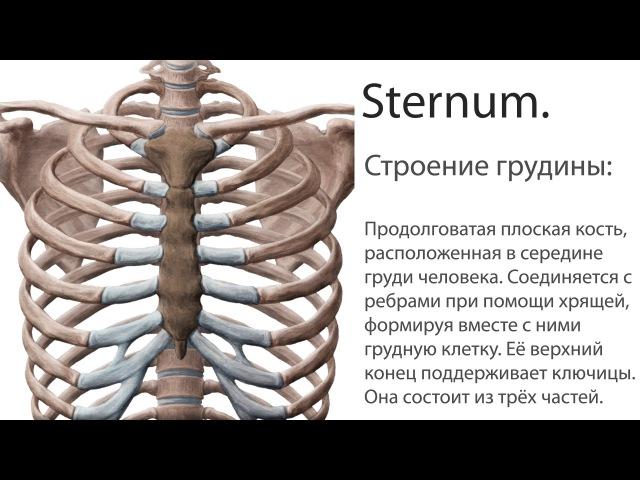 Грудина. Sternum