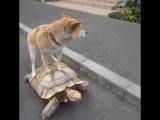 Просто акита-ину катается на черпахе.