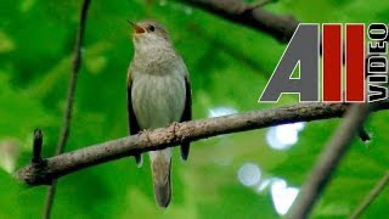 Пение соловья. Голоса птиц. Nightingale song. AllVideo.su.