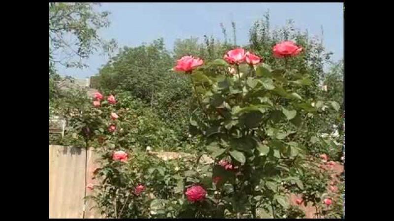 Как выращивать штамбовые розы в домашних условиях Советы из частного питомника