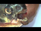 Пиранья обнаружена в р Сакмара возле г Кувандыка