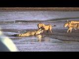 Львы напали на крокодила. Крокодил против львов.
