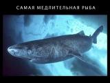 Полярная гренландская акула