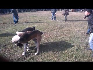 Собачьи бои Арчик Серпнёвое 2015