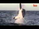 Flying Shark Great White Breaches Off South Africa's Coast