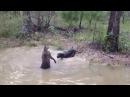 "Собака нападает на кенгуру - ""чупакабру""!"