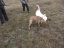 American bulldog vs pitbull (американский бульдог питбуль собачьи бои)