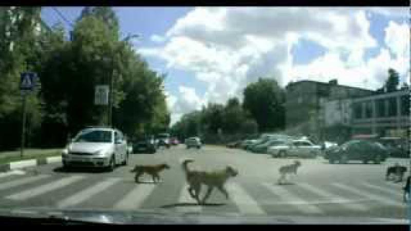 Животные пешеходы иногда умнее людей Animals pedestrians