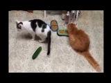 Коты и Страшные Огурцы Cats and terrible cucumbers