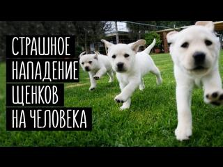Страшное нападение щенков на человека