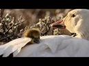 Wild Russia - 2 - Arctic (Россия: От Края До Края - Арктика) - 2/3