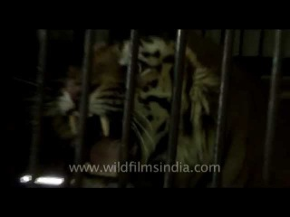 This man-eating tiger's roar will give you goose-bumps!