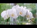 С вами я ваш Ёжик...Моя Любимая Орхидея...Опадают цветочки...