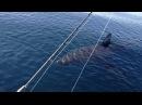 18 Ft Great White Shark Stalks Boat on video part 1