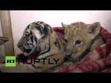 Россия: Лев и тигрята сталкиваются гипотермии в Крым отключения питания продолжается.