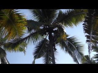 Как добывают кокосы с пальм в Керале (Индия, город Варкала)