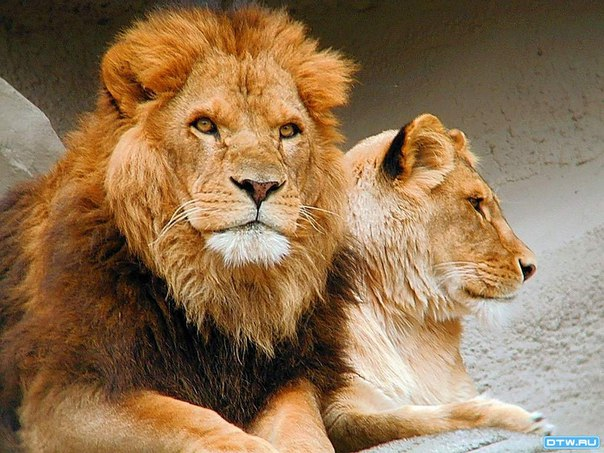 Член льва проникает в львицу фото 167-50