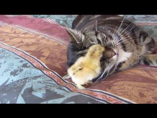 Chick burrows under cat's head!_hd