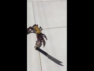 Краб, вооруженный ножом, пытается убежать из ресторана в Бразилии